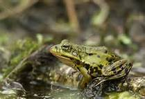 Marsh Frogs (Rana ridibunda).